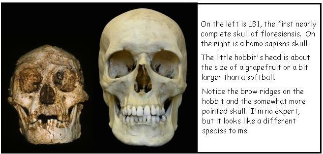 an introduction to homo floresiensis a hominid species whose remains were discovered on the island o Homo floresiensis (man of flores) is a species in the genus homo, remarkable  for its small  with modern humans (homo sapiens) on the indonesian island of  flores  where hominid brains are concerned, size doesn't matter  relative  whose remains were discovered in a south african cave and introduced to the.